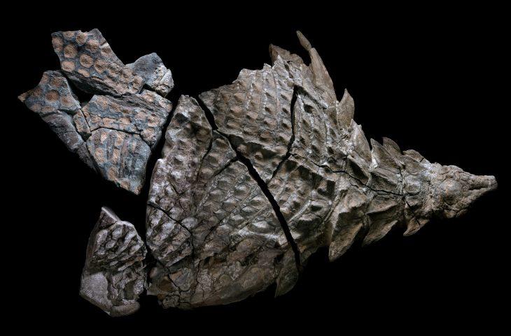 fossil nodosaurio