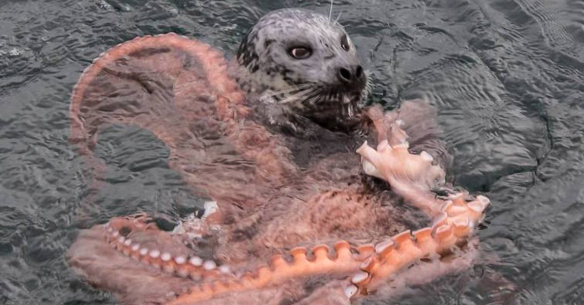 Batalla a muerte entre una foca hambrienta y un pulpo