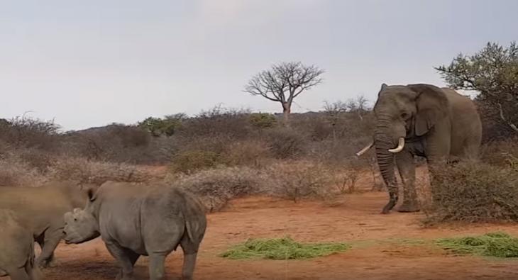 rinos elefante