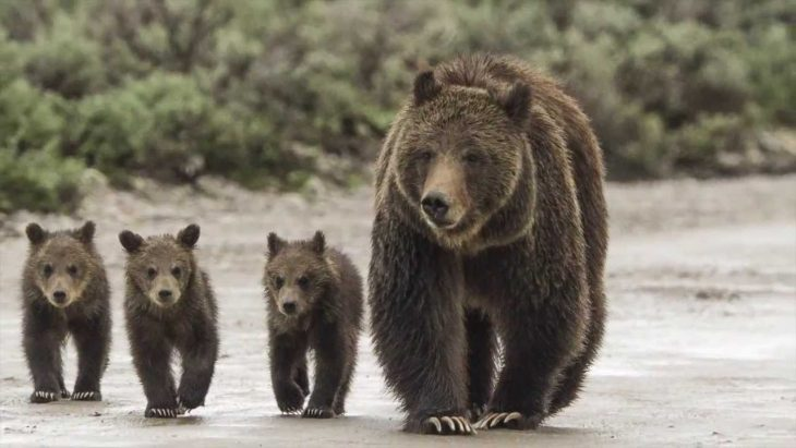Osos de yellowstone serán cazados