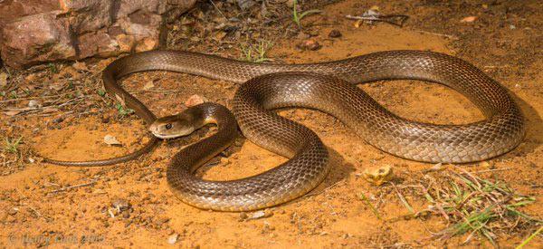 taipán de la costa serpiente