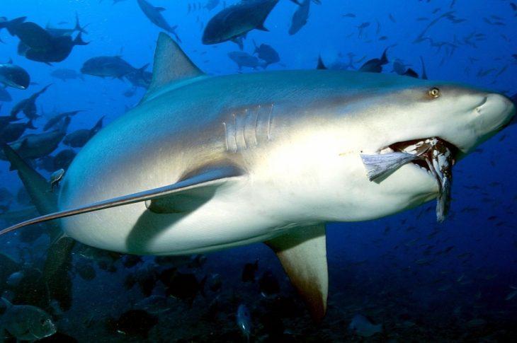 bull shark tiburón toro