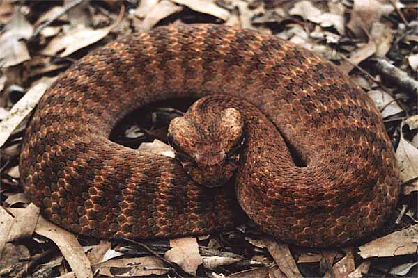 serpiente de la muerte australia