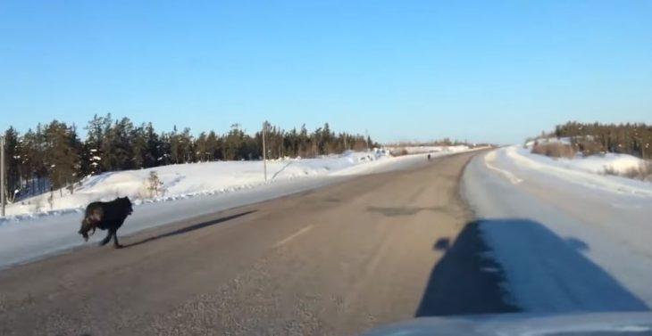 Lobos corriendo por la carretera