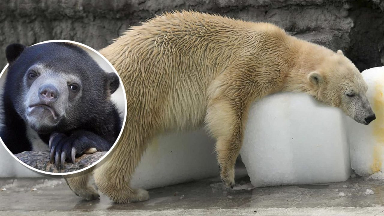 Acuesta Polar Bloques Sobrevivir En De Se Para Hielo Oso ZuPkiOX
