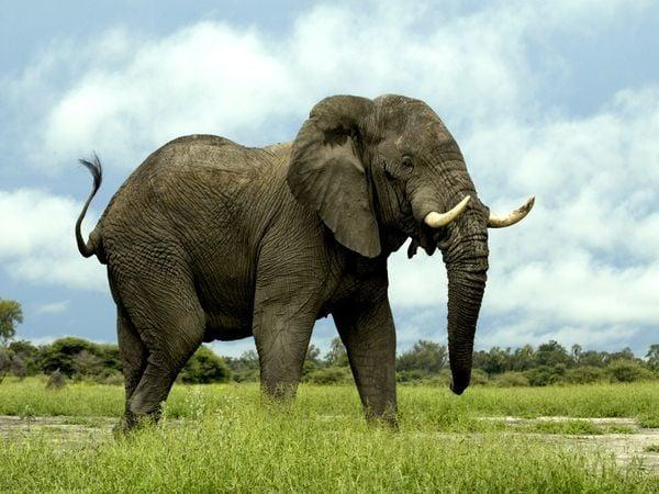 Elefante en el campo