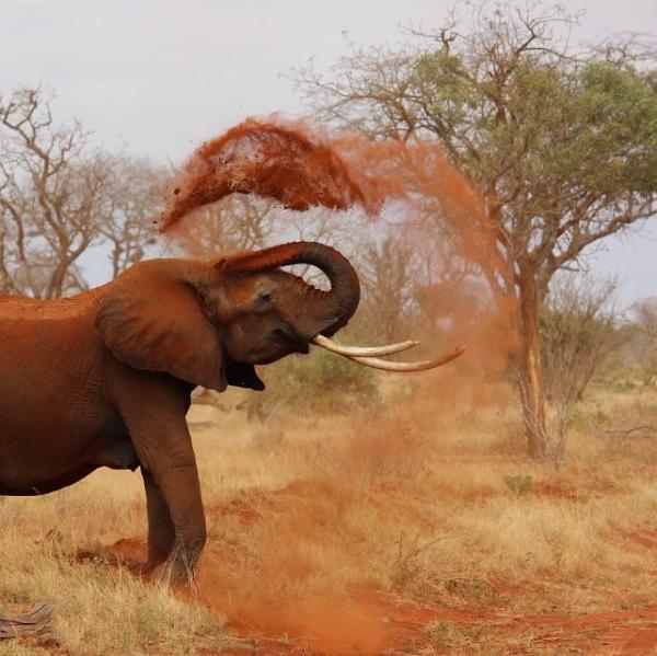 Elefante levanta polvo