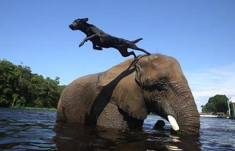 Perro se lanza de un elefante