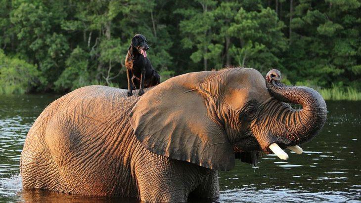 Perro encima de elefante