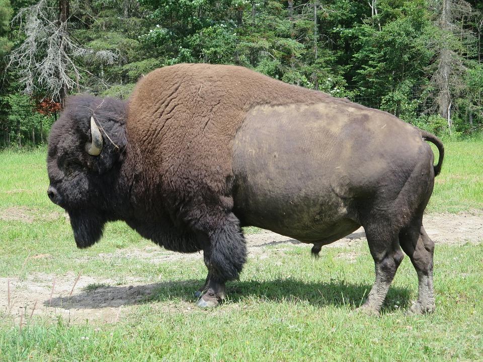 Q Es Bisonte Bisonte aparece luego ...