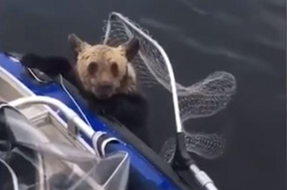 osos ahogándose