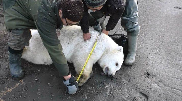 Encuentran cachorro de oso polar a 720 km del Ártico