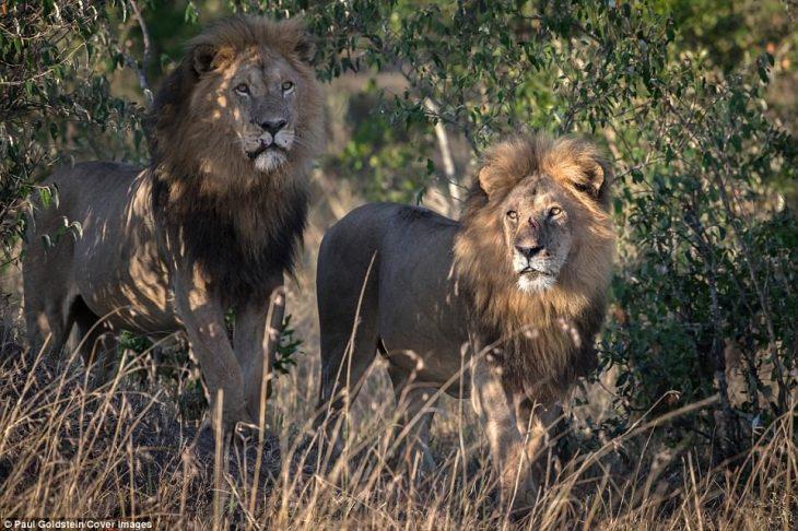 foto leones