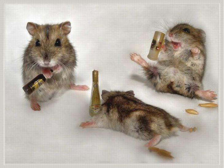 Drunk Mice animal humor 1993688 1024 768 730x548 Estudio revela que Beber tequila ayuda al fortalecimiento de los huesos