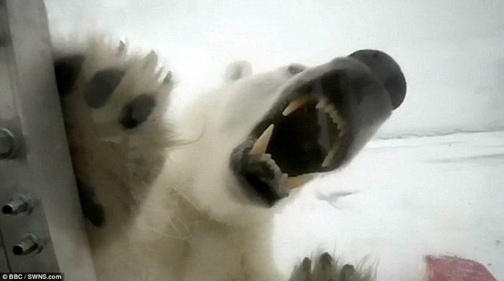Colmillos de oso polar