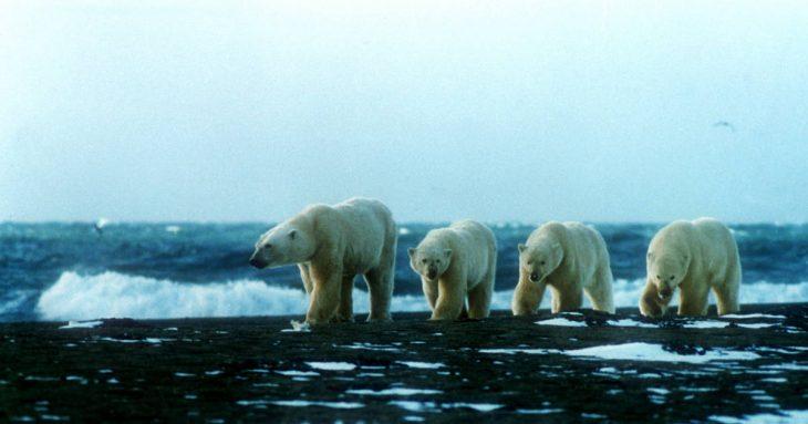 Osos polares en Rusia