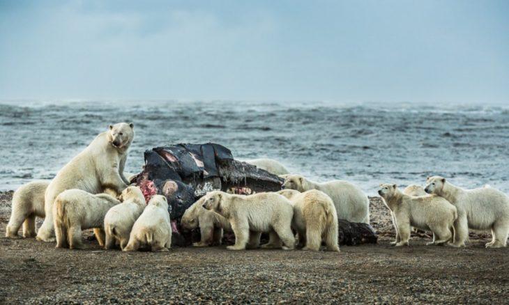 Osos polares comiendo ballena