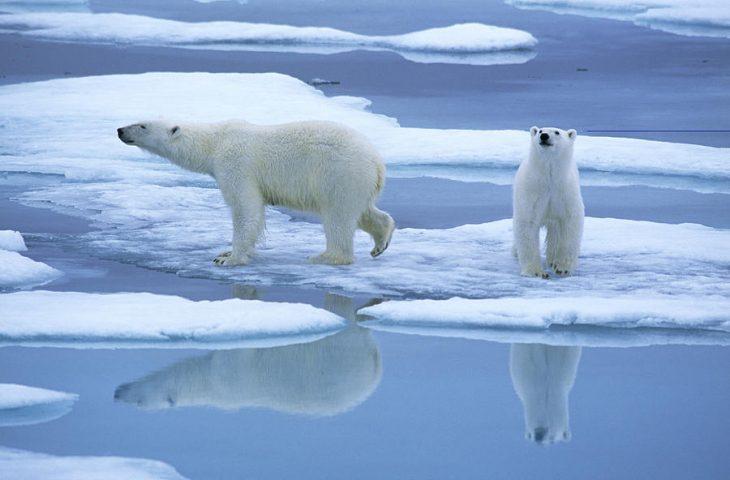 Osos polares en el hielo