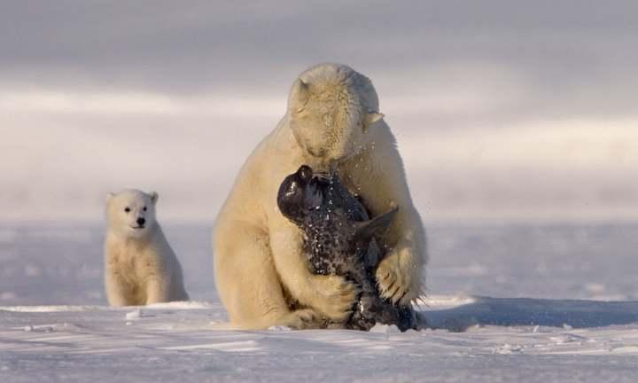 Oso polar come foca