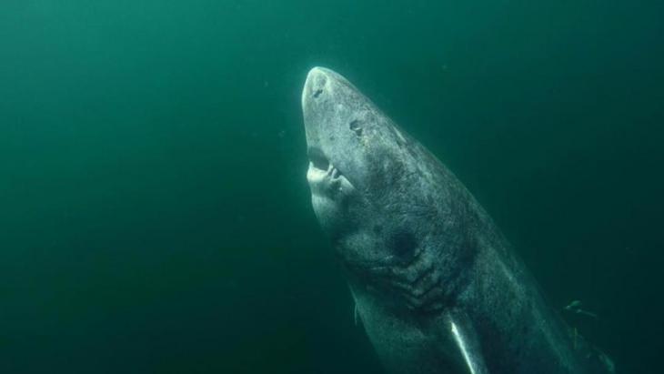 Tiburón de 512 años