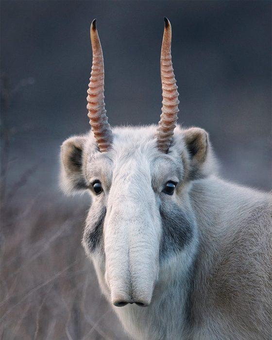 ansai 560x700 Fotógrafo retrata especies en peligro de extinción… Míralas bien, esta podría ser tu última vez