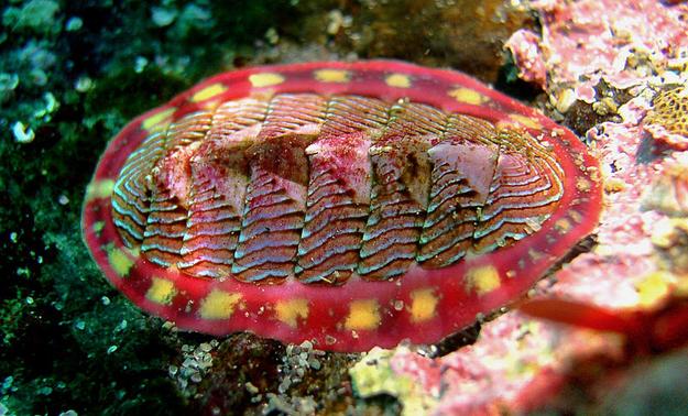 Chiton o Cuchara de mar