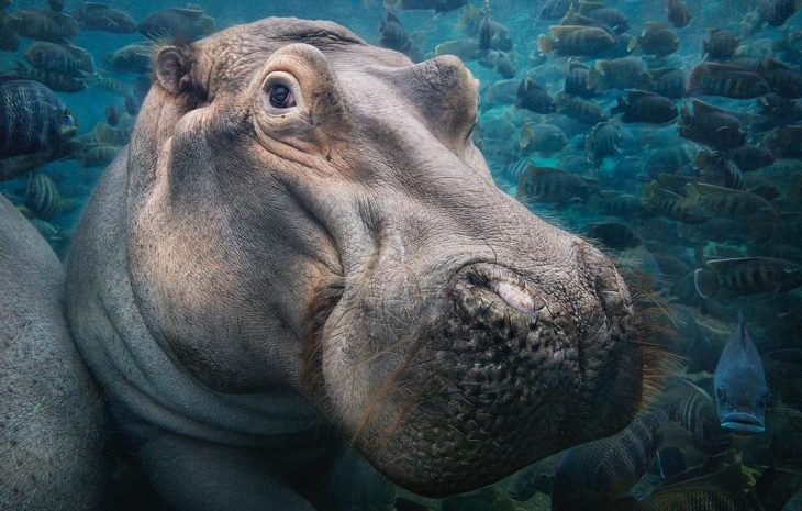 Hipopótamo en acuario