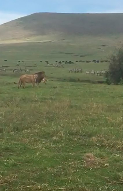 Leones en reserva natural