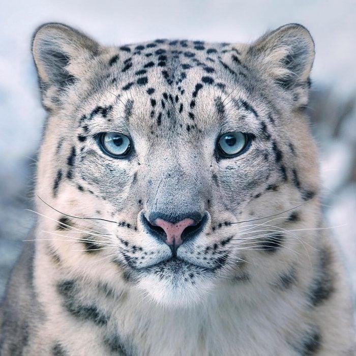 leopdln 700x700 Fotógrafo retrata especies en peligro de extinción… Míralas bien, esta podría ser tu última vez