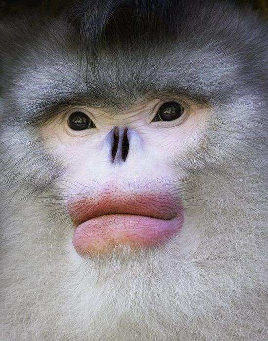 Mono estornudador de nariz respingada