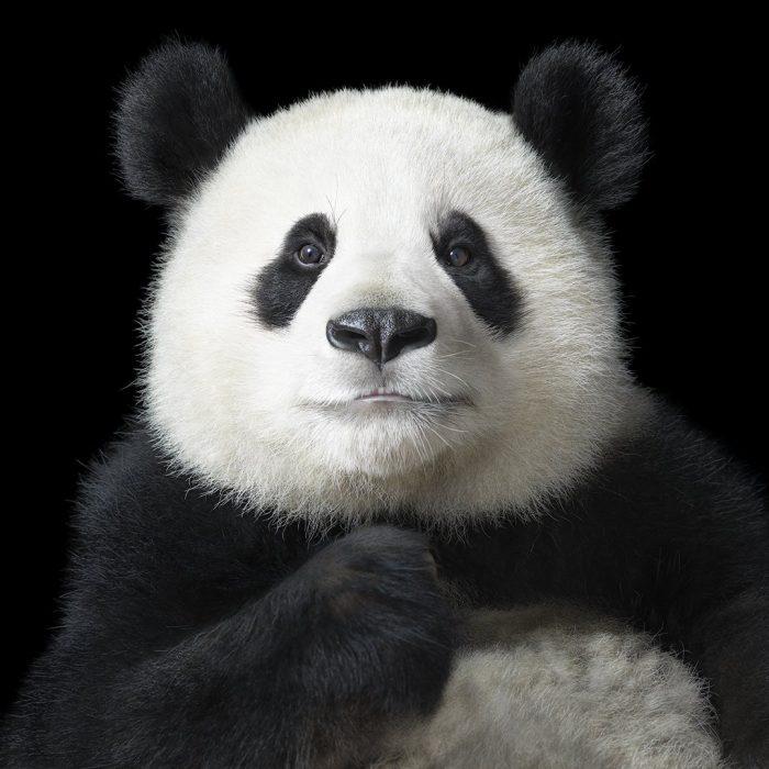 ospan 700x700 Fotógrafo retrata especies en peligro de extinción… Míralas bien, esta podría ser tu última vez
