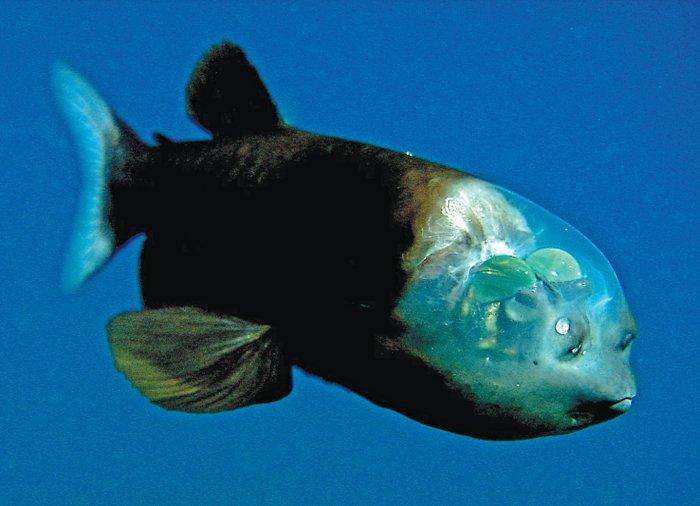 Pez Barreleye del Pacífico
