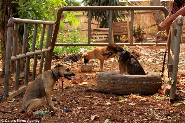 Perros en Tailandia