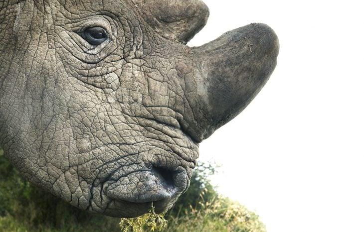 rinbla 730x466 Fotógrafo retrata especies en peligro de extinción… Míralas bien, esta podría ser tu última vez