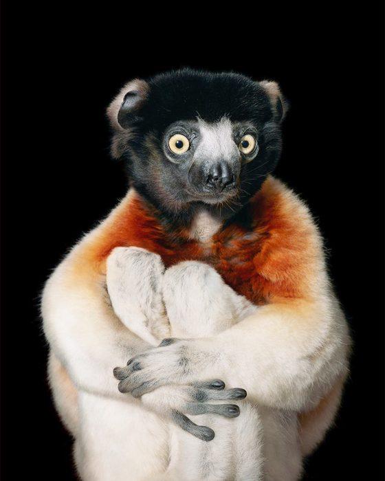 sifacor 560x700 Fotógrafo retrata especies en peligro de extinción… Míralas bien, esta podría ser tu última vez