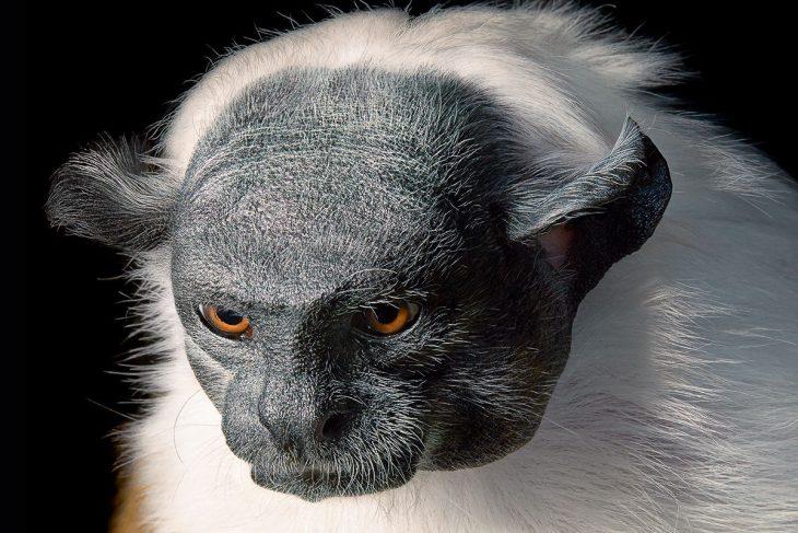 tana 730x487 Fotógrafo retrata especies en peligro de extinción… Míralas bien, esta podría ser tu última vez