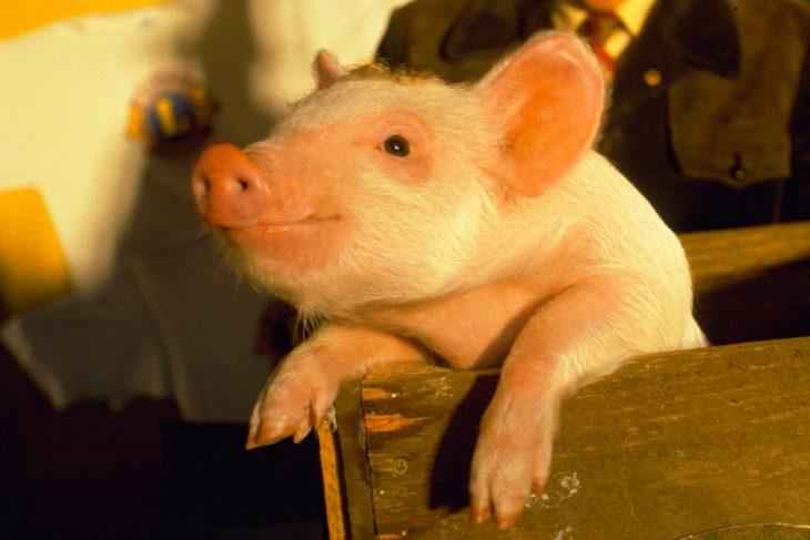 cerdo borracho