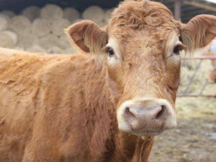vaca escapa de matadero