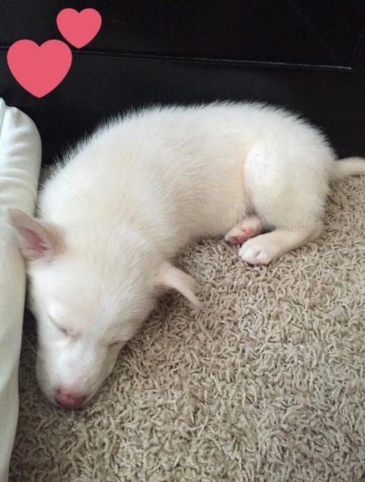 Husky blanco