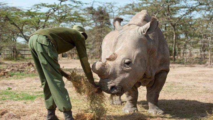 Sudán, rinoceronte blanco
