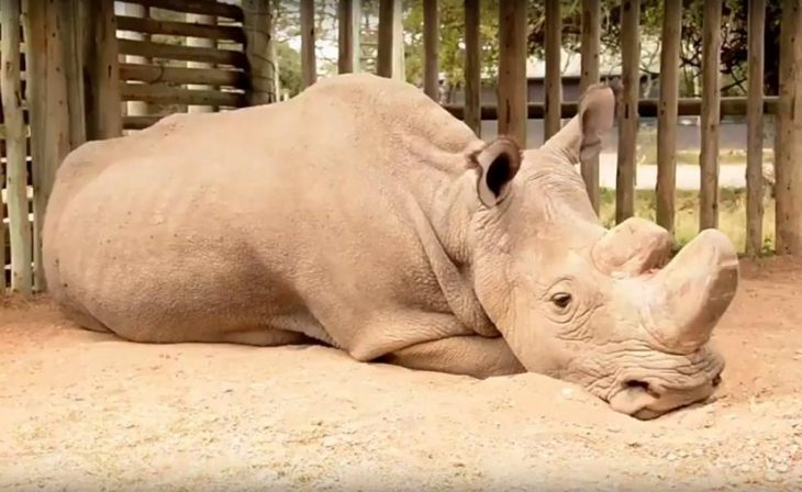 Sudán rinoceronte blanco