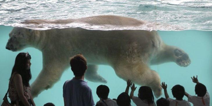 Inuka, oso polar en zoológico de Singapur