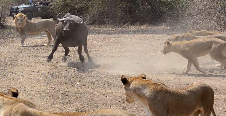 Búfalo contra leonas