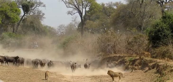 Leones y búfalos