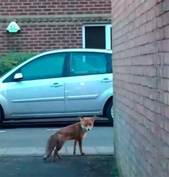 Zorro en la calle