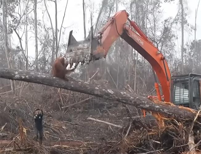 Orangután contra excavadora