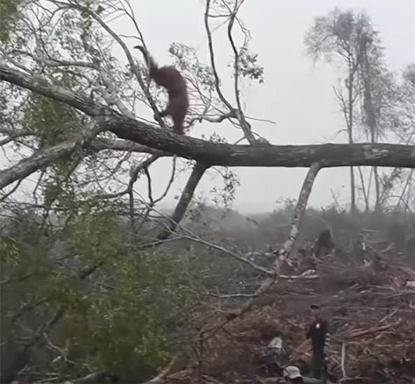Orangután en árbol