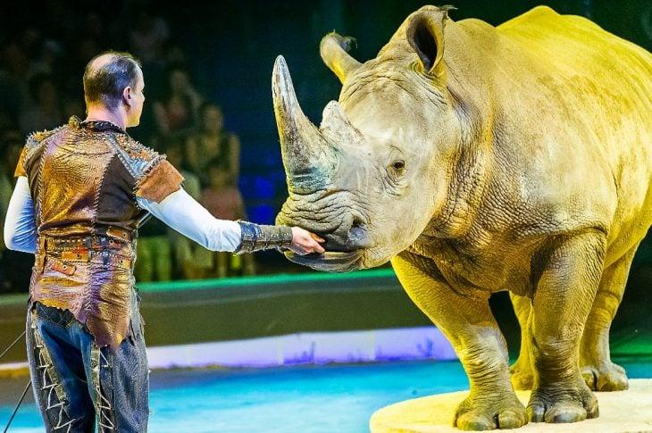 Circo rinoceronte1 730x485 ¡Indignate! Rinoceronte Blanco en peligro de extinción es forzado a trabajar en el circo a latigazos