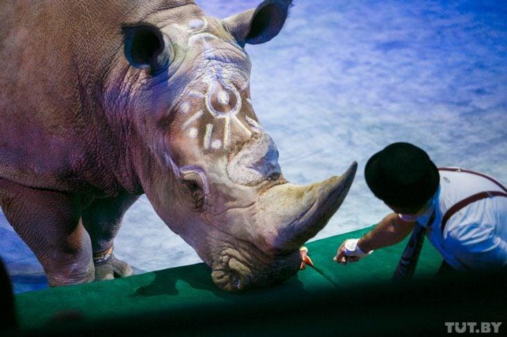 Circo rinoceronte3 730x485 ¡Indignate! Rinoceronte Blanco en peligro de extinción es forzado a trabajar en el circo a latigazos