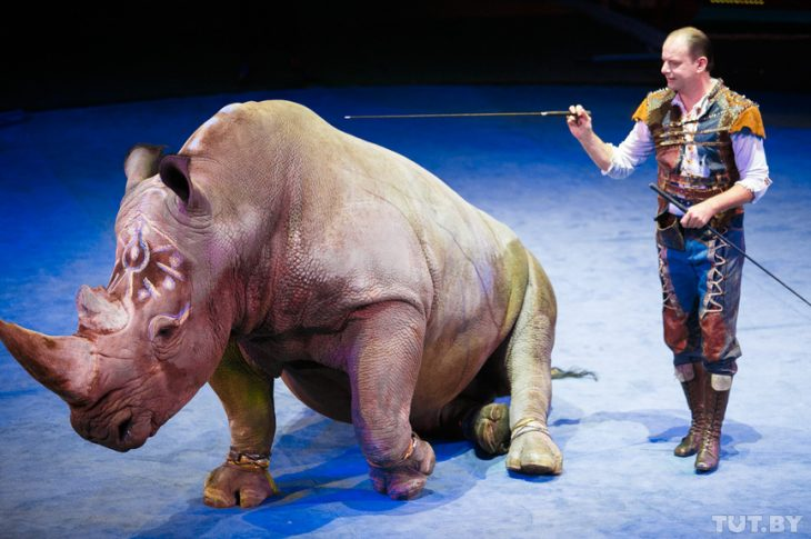 Circo rinoceronte4 730x485 ¡Indignate! Rinoceronte Blanco en peligro de extinción es forzado a trabajar en el circo a latigazos